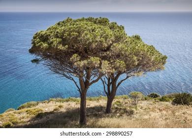 Pine tree at the west coast of Elba, Pomonte, Tuscany, Italy
