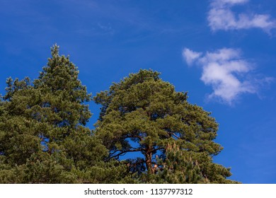 Pine trees against blue sky at summer day