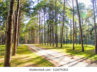 Pine trees along a trail leading into the pine forest. Chiang Mai, Northern Thailand