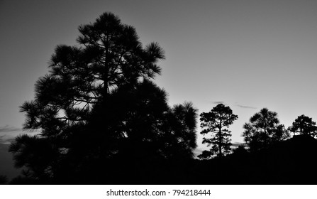 Pine trees backlit, nightfall from the natural park of Pilancones, black and white, Canary islands
