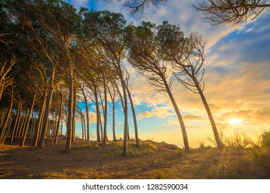 Pine trees, beach and sea, Marina di Cecina, Maremma, Tuscany, Italy Europe.