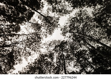 Pine trees in black and white colour.