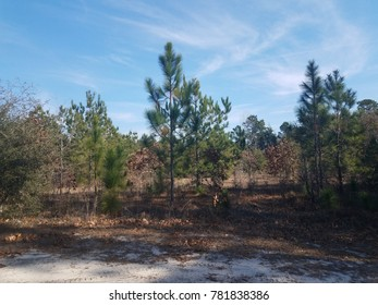 pine trees, brush, and sand