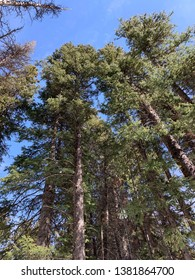 Pine trees with clear blue sky