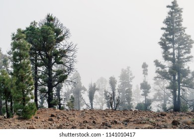Pine trees in the clouds