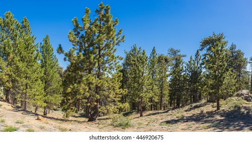 Pine trees in cluster in mountains of Frazier Park in southern California.
