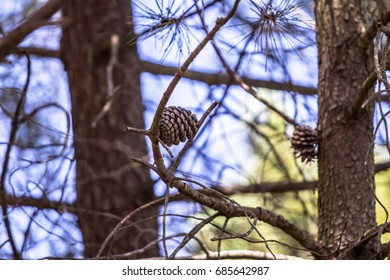 Pine trees with cones on rocky coast above sea