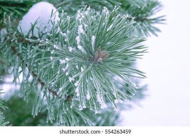 Pine trees covered with frost. Pine needles in snow. Cloudy frosty day. Spruce branches in the snow.