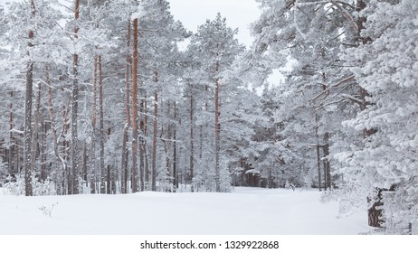 Pine trees covered with frost and snow
