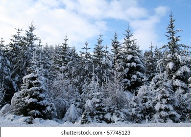 Pine trees covered with snow after winter storm.