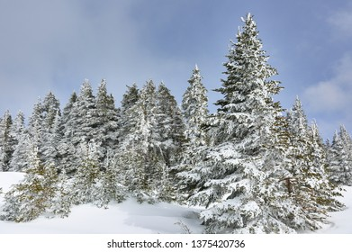 Pine trees covered with snow at Hurricane ridge on a sunny day. Hurricane Ridge is a mountainous area in Washington's Olympic National Park.