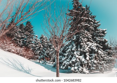 Pine trees covered with snow on blue sky background, forest scene