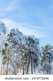 Pine trees covered in snow on bright sunny winter day