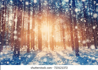 Pine trees covered with snow on frosty evening. Beautiful winter panorama at snowfall