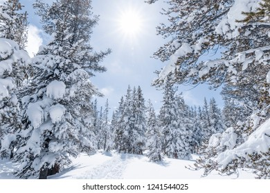 Pine trees covered in snow in sunny winter day