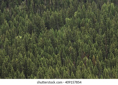 Pine Trees Create a Texture Shot from a Distance