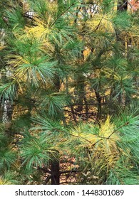 Pine trees are evergreen plants but they do go through an annual needle drop. This is a close up of a longleaf pine tree during the month of October in North Georgia USA.