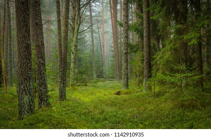pine trees in the foggy forest