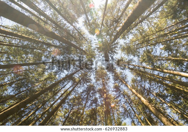 Pine trees in a forest, Bavaria in Germany