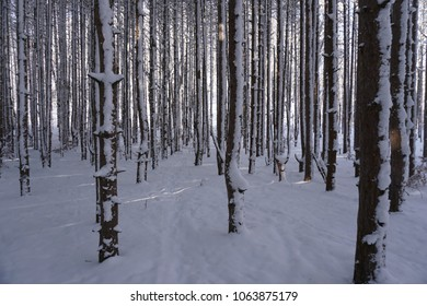 Pine trees and forest floor covered in snow with sun shinning through trees.