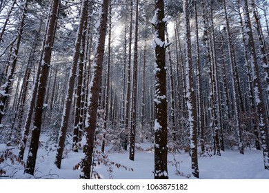 Pine trees and forest floor covered in snow with sun rays shinning through trees.