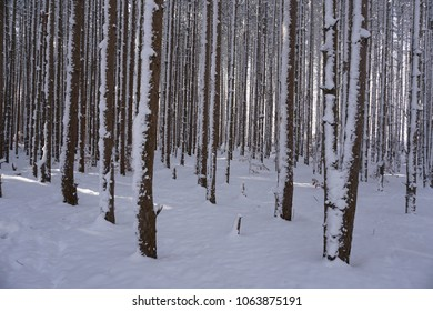Pine trees and forest floor covered in snow with sun peaking through trees.