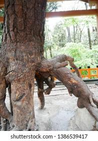 Pine trees at Fushimi Inari Shrine (Japan: Kyoto)