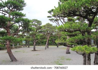 Pine trees at a garden
