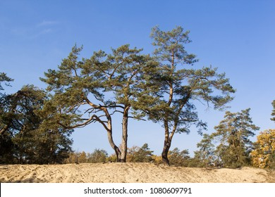 Pine trees grow on sand dunes.