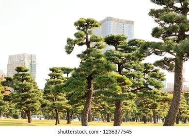 Pine Trees at Imperial Palace of Tokyo