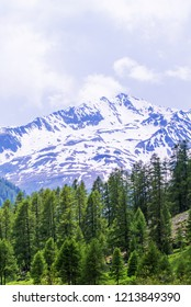Pine trees in Livigno valley with snowy peak in the backgroun