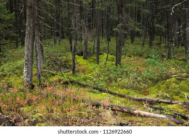 Pine trees and mossy ground in a northern Minnesota forest during autumn
