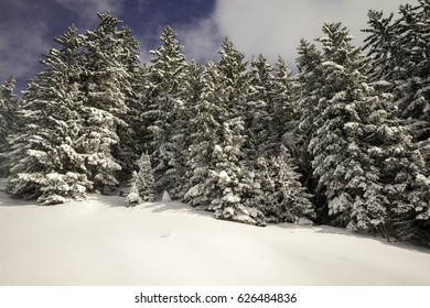 Pine trees, Mottaret, France