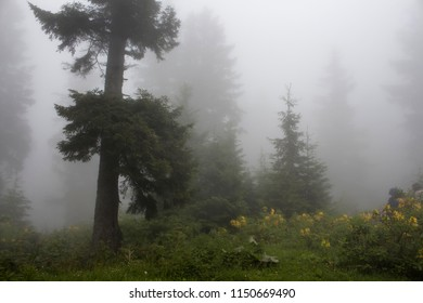 Pine trees, mountain roses (Rhododendron luteum ), wild plants and grass field in fog. The image is captured in the mountain called Sis of Trabzon city located in Black Sea region of Turkey.
