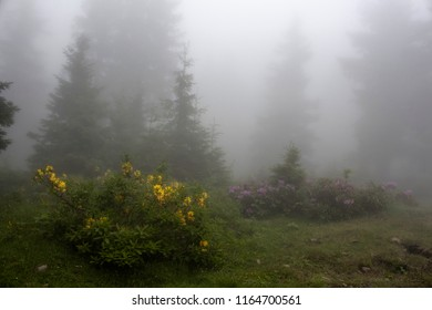 Pine trees, mountain roses (Rhododendron luteum and ponticum) and grass field in fog. The image is captured in the mountain called Sis of Trabzon city located in Black Sea region of Turkey.