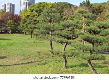 Pine trees in the Old Fujita house garden, Osaka, Japan