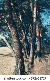 Pine trees  Old pine trees. People grow up and grow up nicely. It is unusual to be inclined to one place.
