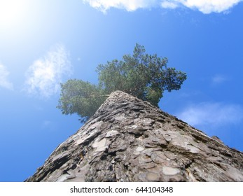 Pine trees on background of blue sky view from the bottom up