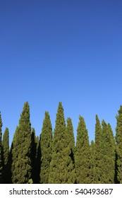 pine trees on blue sky