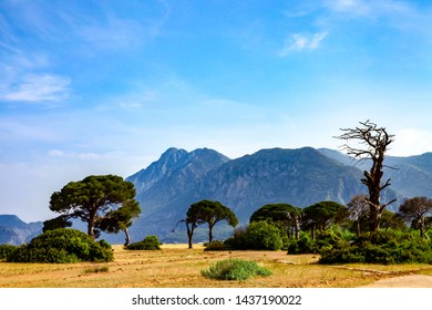 Pine trees on Cirali (çıralı) Beach in Antalya, Turkey