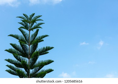 Pine trees on day sky background