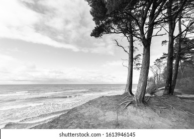 Pine trees  on the edge of dune bluff at Karkle beach, beautiful seaside landscape and sea horizon in a distance.