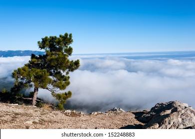 Pine trees on the mountain Ai-Petri