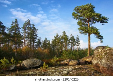 pine trees on rock, individual and collective
