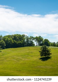 Pine trees on a  rolling hills meadow