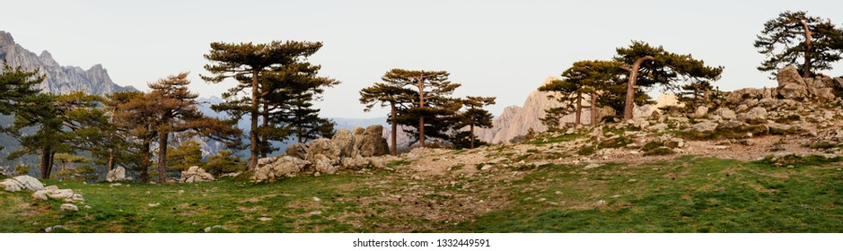 Pine trees panorama in the wild in nature park at corsica col de bavella in summer with mountains in the background