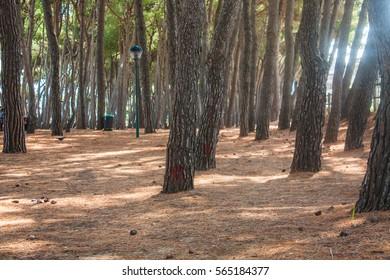 Pine trees park on Seashore of city Alba Adriatica in Italy, nature background