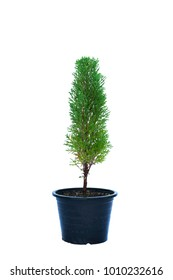Pine trees in pots isolated on white background with clipping path.