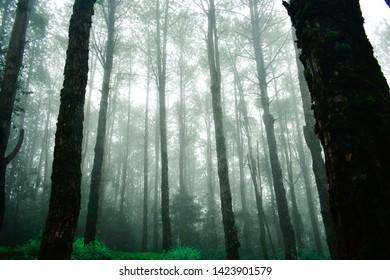 Pine trees in the rainy season and fog