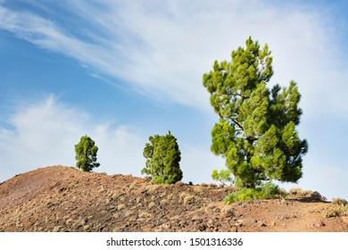 Pine trees in red lava landscape on the Cumbre Vieja in La Palma, Spain.